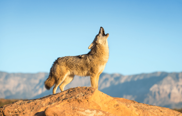How to choose calls for coyote hunting